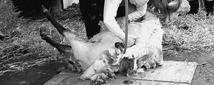 mailles.ca-laine-mouton rasé